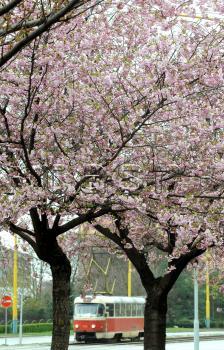 Kvitnúca japonská čerešňa sakura kvety strom