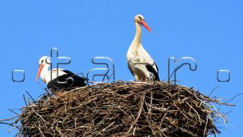 Bociany prílet hniezdenie letiaci sťahovavý vták bocian vtačie