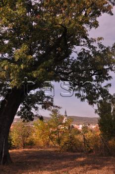 Strom oskoruše